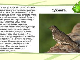 Кукушка. Длина птицы до 40 см, вес 100 – 130 грамм. Хвост имеет закругленную