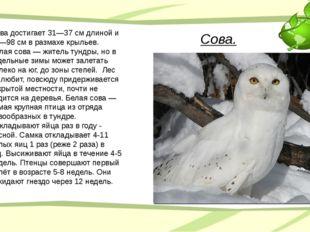 Сова. Сова достигает 31—37 см длиной и 86—98 см в размахе крыльев. Белая сова