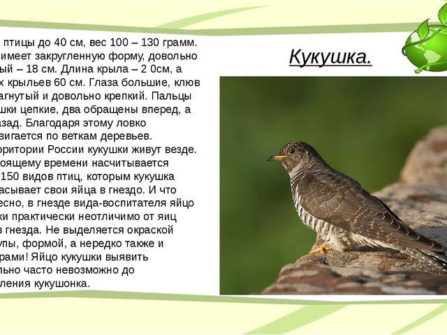 Кукушка. Длина птицы до 40 см, вес 100 – 130 грамм. Хвост имеет закругленную...