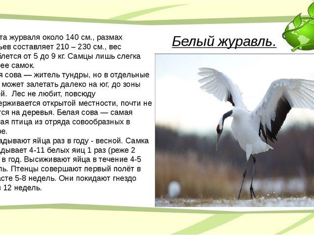 Белый журавль. Высота журваля около 140 см., размах крыльев составляет 210 –...