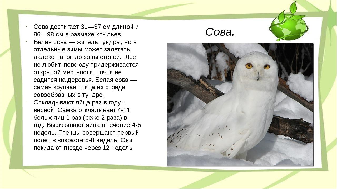 Сова. Сова достигает 31—37 см длиной и 86—98 см в размахе крыльев. Белая сова...