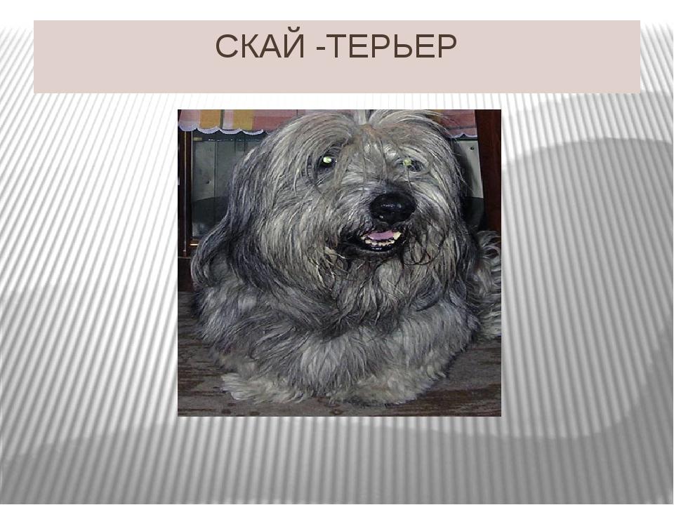 СКАЙ -ТЕРЬЕР