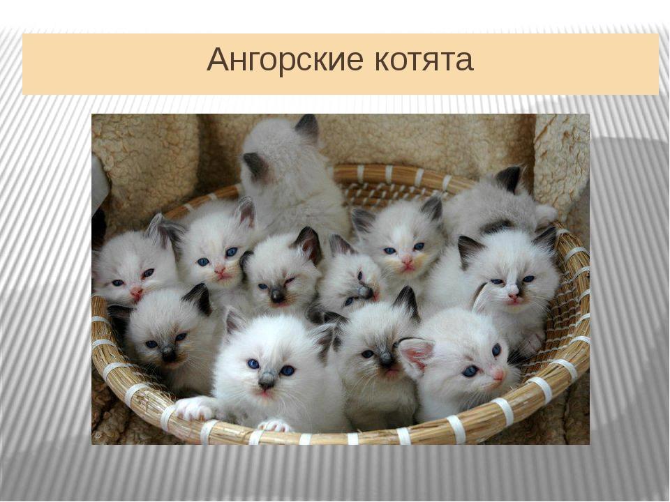 Ангорские котята