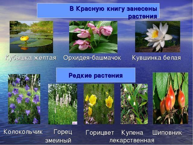В Красную книгу занесены растения Орхидея-башмачок Кубышка желтая Кувшинка бе...