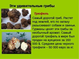 Эти удивительные грибы Трюфель Самый дорогой гриб. Растет под землей, его по