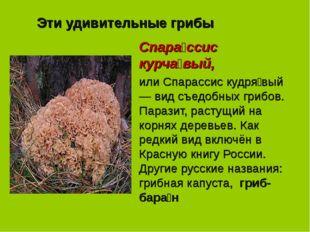 Эти удивительные грибы Спара́ссис курча́вый, или Спарассис кудря́вый — вид съ