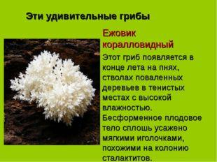 Эти удивительные грибы Ежовик коралловидный Этот гриб появляется в конце лета