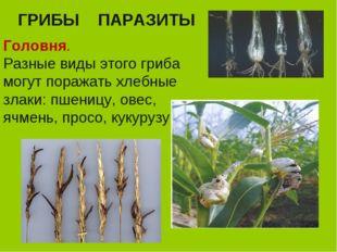 ГРИБЫ ПАРАЗИТЫ Головня. Разные виды этого гриба могут поражать хлебные злаки: