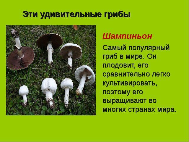 Эти удивительные грибы Шампиньон Самый популярный гриб в мире. Он плодовит, е...