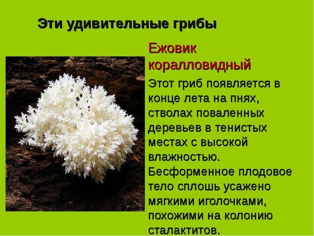 Эти удивительные грибы Ежовик коралловидный Этот гриб появляется в конце лета...