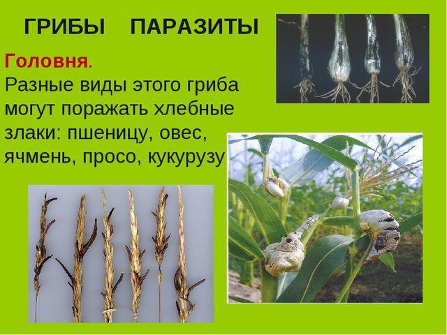 ГРИБЫ ПАРАЗИТЫ Головня. Разные виды этого гриба могут поражать хлебные злаки:...