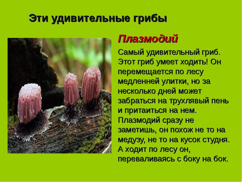 Эти удивительные грибы Плазмодий Самый удивительный гриб. Этот гриб умеет ход...