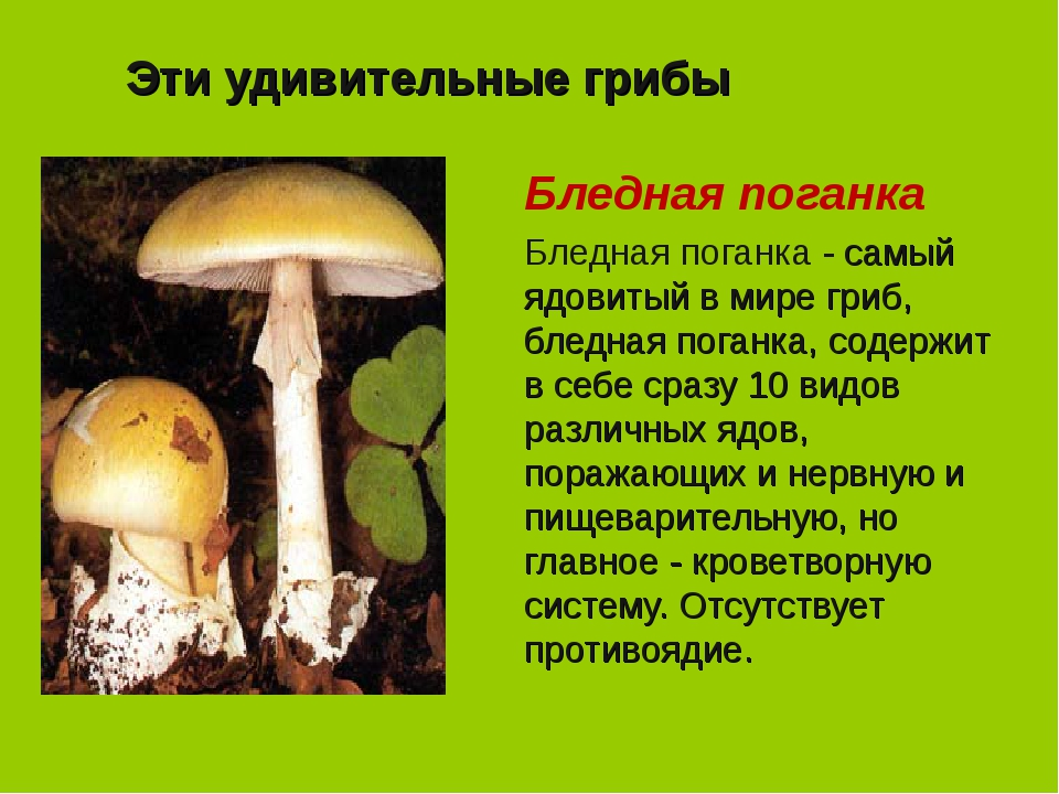 Эти удивительные грибы Бледная поганка Бледная поганка - самый ядовитый в мир...