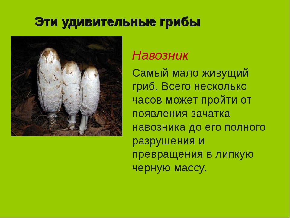 Эти удивительные грибы Навозник Самый мало живущий гриб. Всего несколько часо...