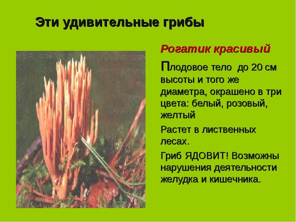 Эти удивительные грибы Рогатик красивый Плодовое тело до 20 см высоты и того...