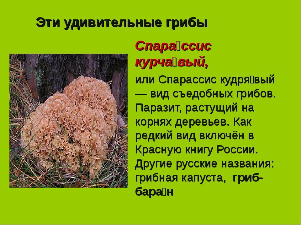 Эти удивительные грибы Спара́ссис курча́вый, или Спарассис кудря́вый — вид съ...