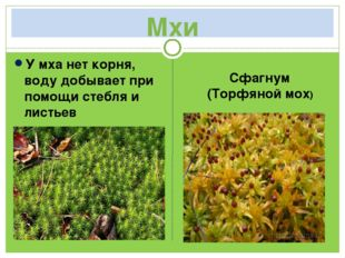 Мхи У мха нет корня, воду добывает при помощи стебля и листьев Сфагнум (Торф