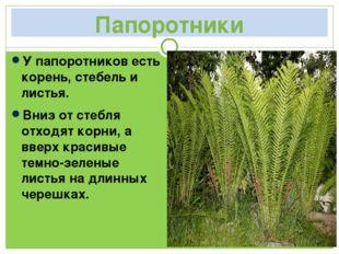 Папоротники У папоротников есть корень, стебель и листья. Вниз от стебля отхо