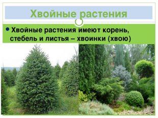 Хвойные растения Хвойные растения имеют корень, стебель и листья – хвоинки (х
