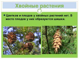Хвойные растения Цветков и плодов у хвойных растений нет. В место плодов у ни