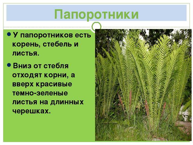 Папоротники У папоротников есть корень, стебель и листья. Вниз от стебля отхо...