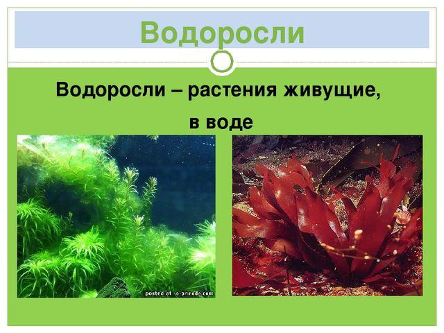 Водоросли Водоросли – растения живущие, в воде