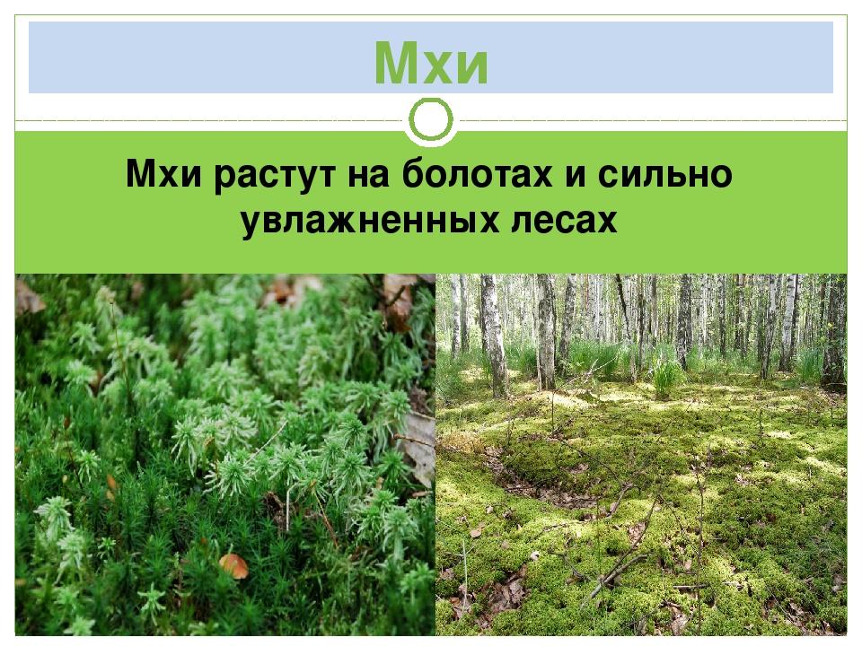 Мхи Мхи растут на болотах и сильно увлажненных лесах