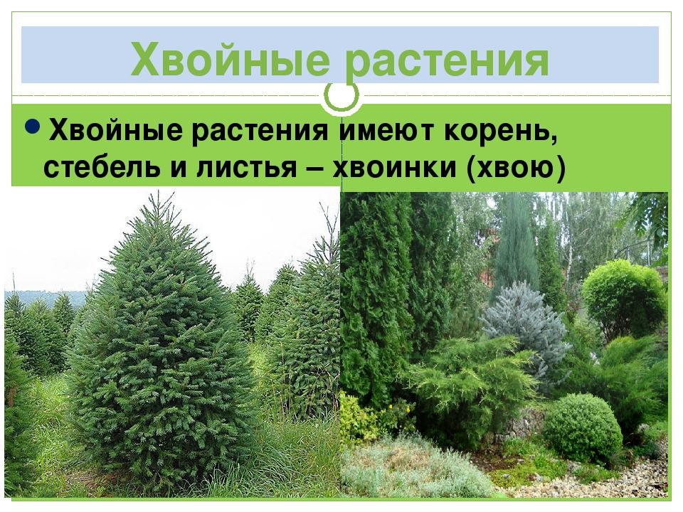 Хвойные растения Хвойные растения имеют корень, стебель и листья – хвоинки (х...