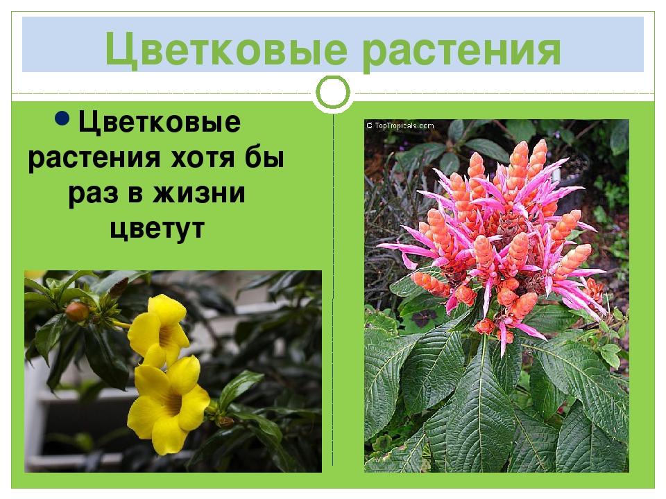 Цветковые растения Цветковые растения хотя бы раз в жизни цветут