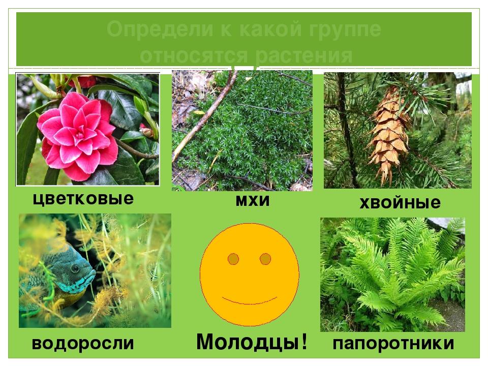 Определи к какой группе относятся растения водоросли мхи папоротники хвойные...