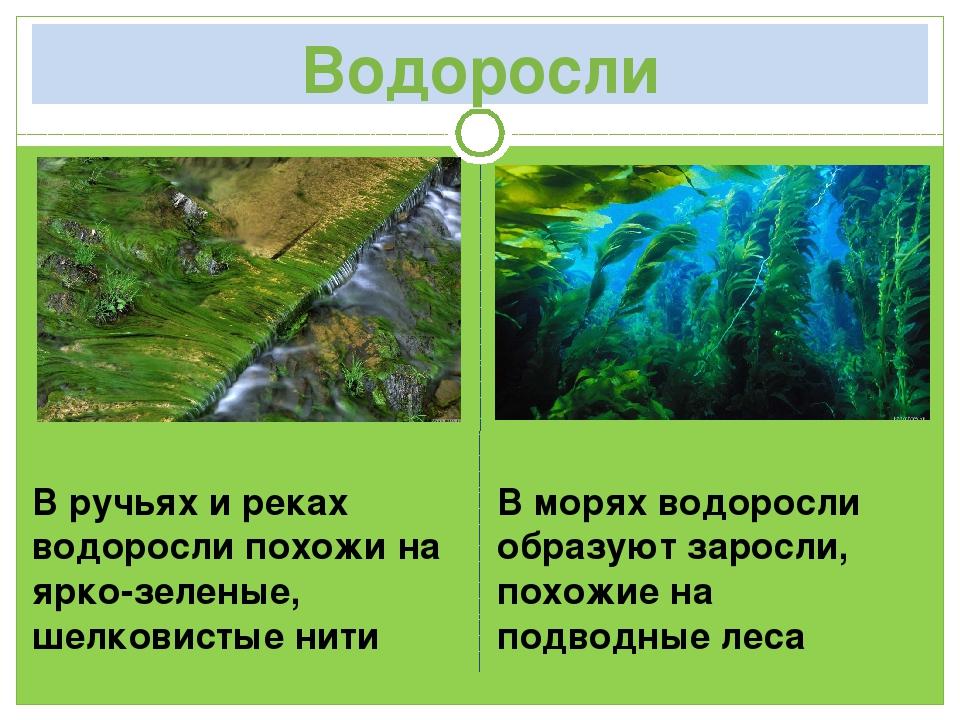 Водоросли В ручьях и реках водоросли похожи на ярко-зеленые, шелковистые нити...