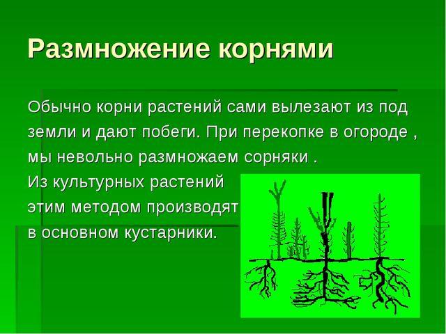 Размножение корнями Обычно корни растений сами вылезают из под земли и дают п...