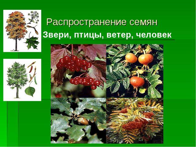 Распространение семян Звери, птицы, ветер, человек