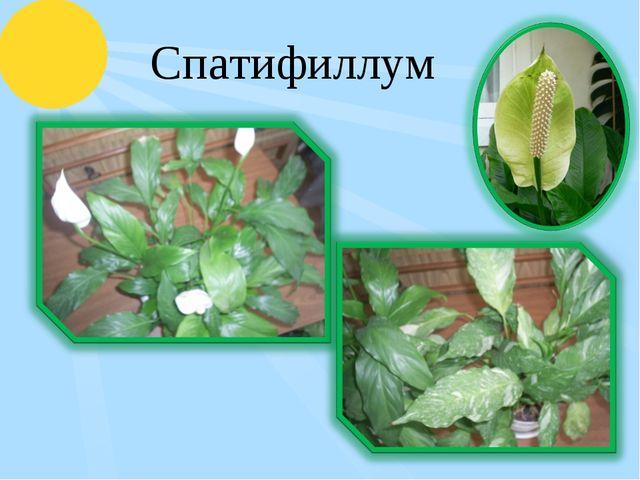 Спатифиллум