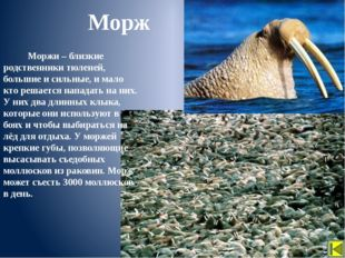 Человек Арктике нанес большой ущерб. Стали редкими такие животные, как белый