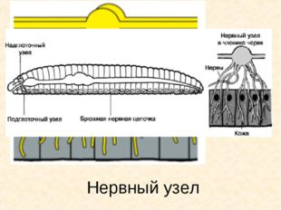 Нервный узел