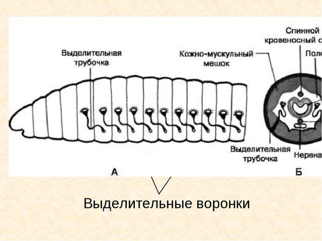 3.Выделительная система: Выделительные воронки