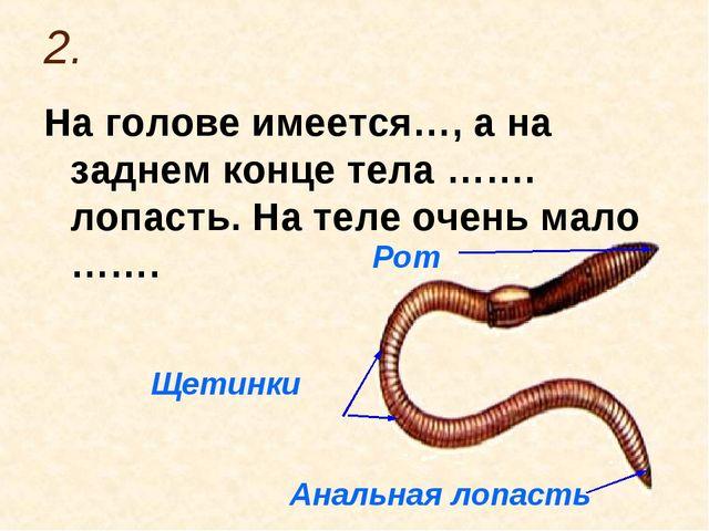 2. На голове имеется…, а на заднем конце тела ……. лопасть. На теле очень мало...