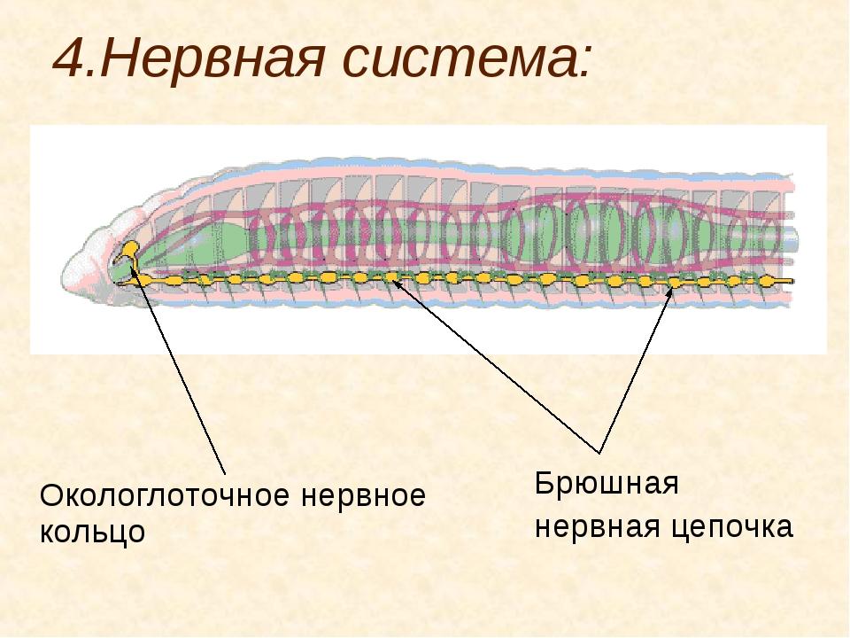 4.Нервная система: Окологлоточное нервное кольцо Брюшная нервная цепочка
