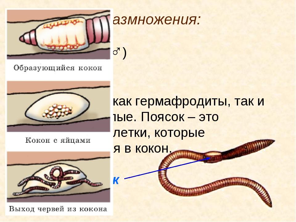 5. Система размножения: Семенники (♂) Яичники (♀) Встречаются как гермафродит...