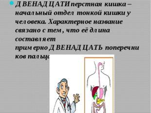 ДВЕНАДЦАТИперстная кишка – начальный отдел тонкой кишки у человека. Характерн