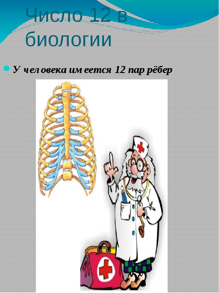 Число 12 в биологии У человека имеется 12 пар рёбер