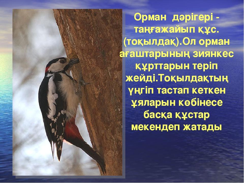 Орман дәрігері - таңғажайып құс.(тоқылдақ).Ол орман ағаштарының зиянкес құртт...
