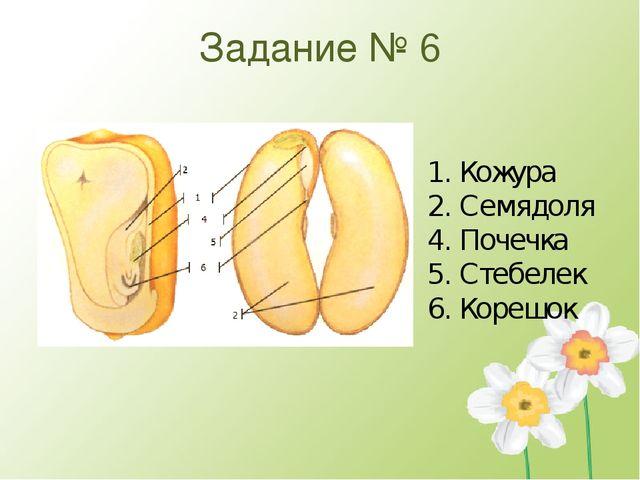Задание № 6 1. Кожура 2. Семядоля 4. Почечка 5. Стебелек 6. Корешок