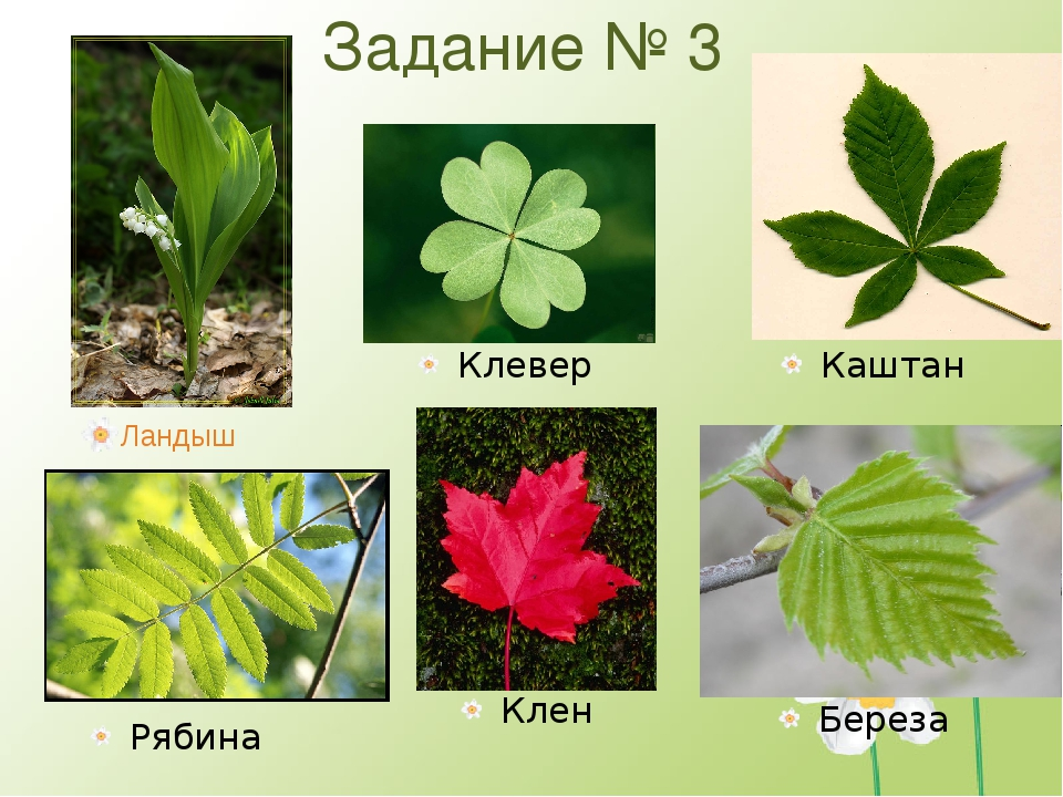 Задание № 3 Ландыш Клен Рябина Клевер Каштан Береза