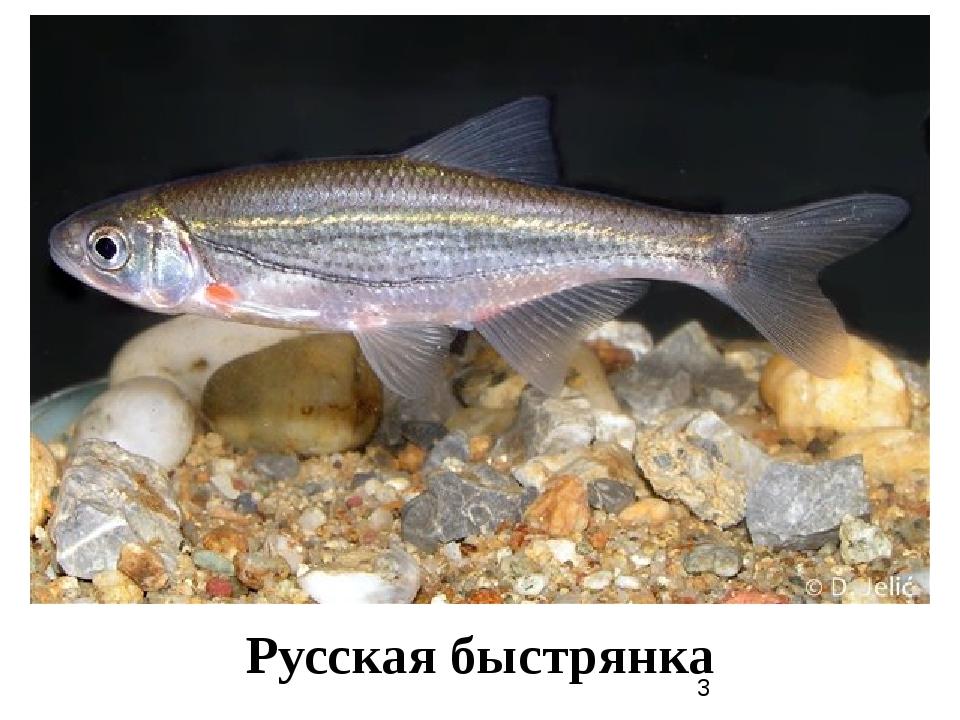 Русская быстрянка