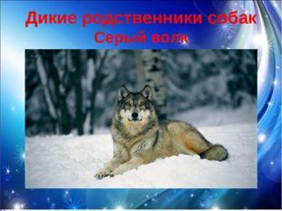 Дикие родственники собак Серый волк