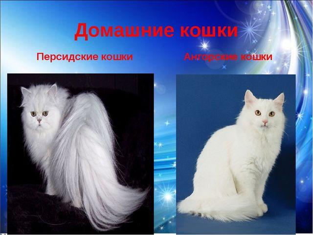 Домашние кошки Персидские кошки Ангорские кошки