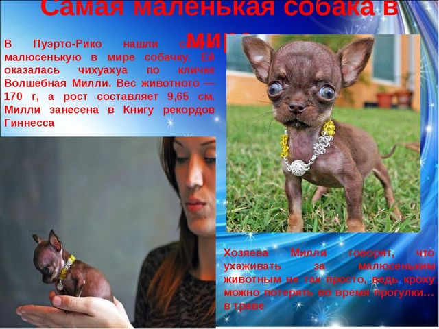 Самая маленькая собака в мире В Пуэрто-Рико нашли самую малюсенькую в мире со...