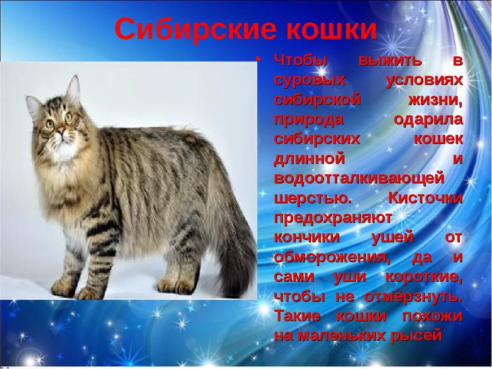 Сибирские кошки Чтобы выжить в суровых условиях сибирской жизни, природа одар...